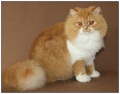 ...котят на фото, рыже белый кот с большими глазами из