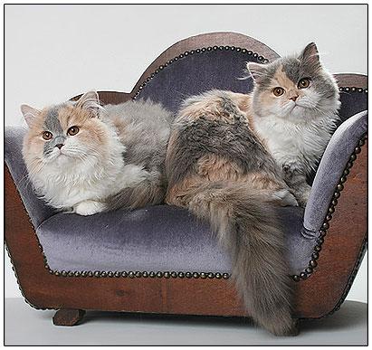 Британские длинношерстные кошки голубо-кремовые с белым