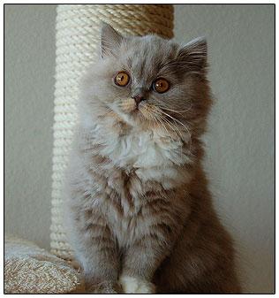 Британский длинношерстный котенок лилово-кремовый с белым