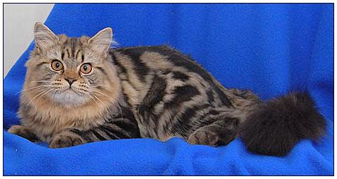 Британская длинношерстная кошка черная мраморная