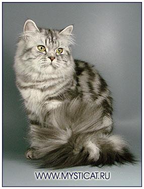 Британская длинношерстная кошка черная серебристая мраморная