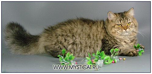 Британская длинношерстная кошка черная пятнистая