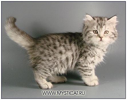 Британский длинношерстный котенок черный серебристый пятнистый